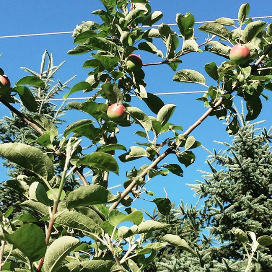 "Screenshot-2018-2-24 Cortney Everts Dean on Instagram ""1st apple crop out of the orchard looks to be decent one 🍎🍏"""