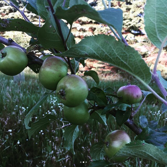"""Screenshot-2018-2-24 Cortney Everts Dean on Instagram """"1st apple crop out of the orchard looks to be decent one 🍎🍏""""(1)"""